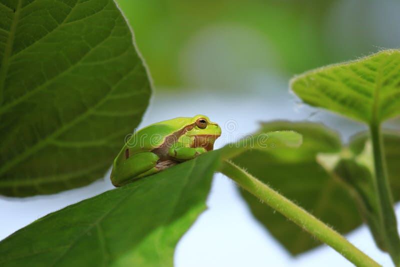 Europejska drzewna żaba na liściu obraz stock