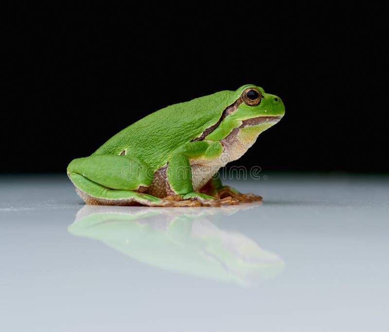 Europejska drzewna żaba na odbija bielu talerzu obrazy royalty free