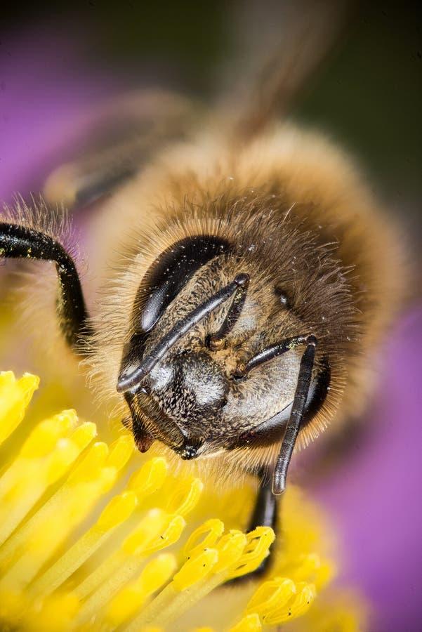 Europejska Miodowa pszczoła, Miodowa pszczoła, Honeybee, pszczoła obrazy stock
