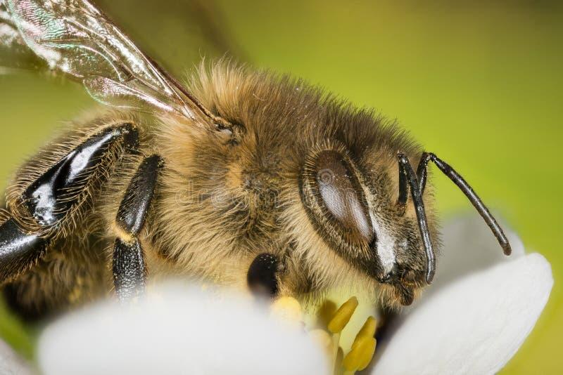 Europejska Miodowa pszczoła, Miodowa pszczoła, Honeybee, pszczoła obrazy royalty free