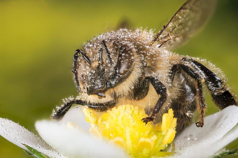 Europejska Miodowa pszczoła, Miodowa pszczoła, Honeybee, pszczoła fotografia royalty free