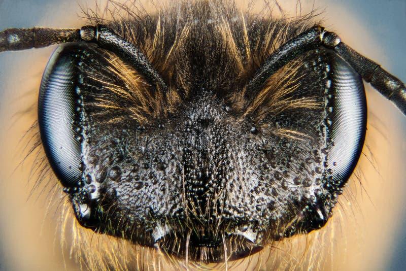 Europejska Miodowa pszczoła, Miodowa pszczoła, Honeybee, pszczoła obraz royalty free
