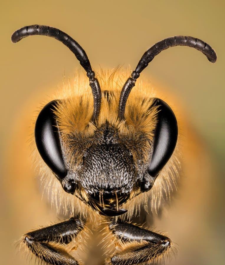 Europejska Miodowa pszczoła, Miodowa pszczoła, Honeybee, pszczoła zdjęcie royalty free