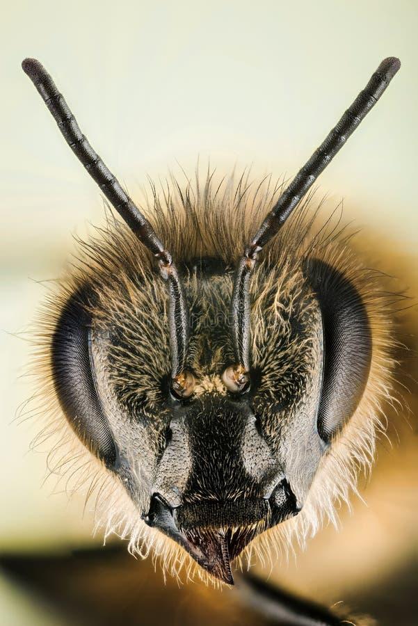 Europejska Miodowa pszczoła, Miodowa pszczoła, Honeybee, pszczoła zdjęcia stock