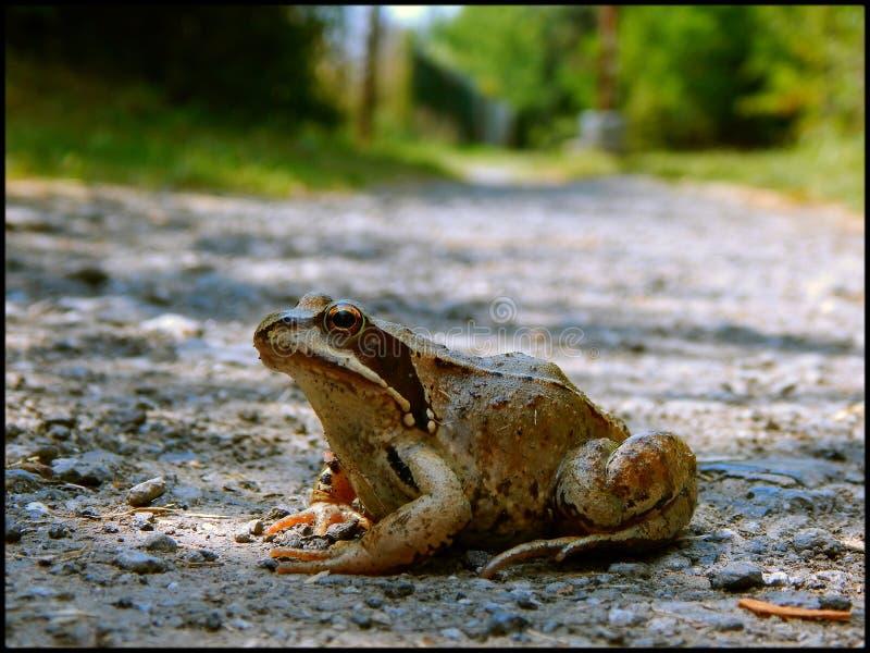 Europejska pospolita żaba zdjęcie stock