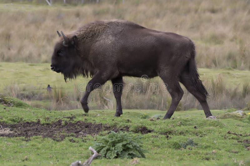 Europejski żubr, wisent, bizon, odprowadzenia i kłaść scena fotografia royalty free