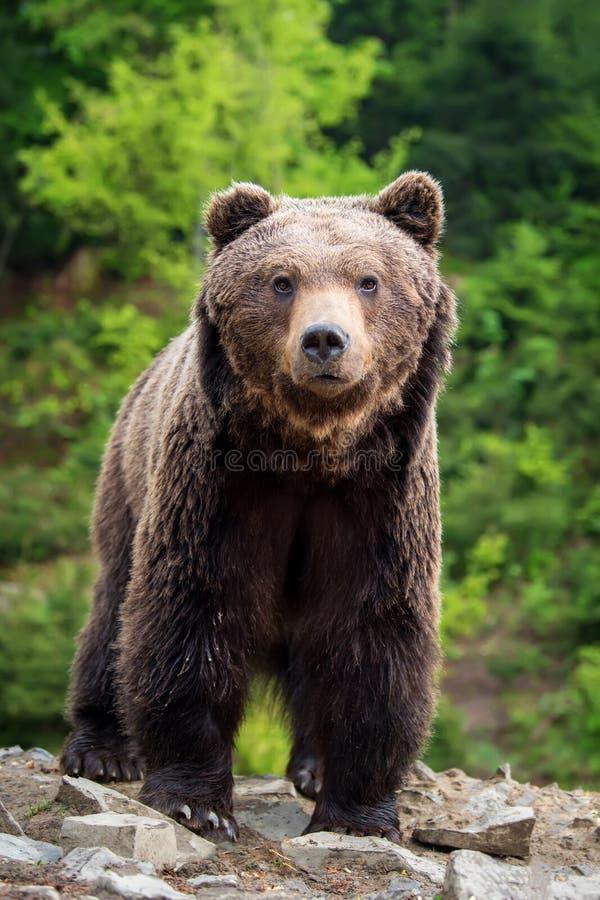 Europejski brown niedźwiedź w lasowym krajobrazie obraz royalty free