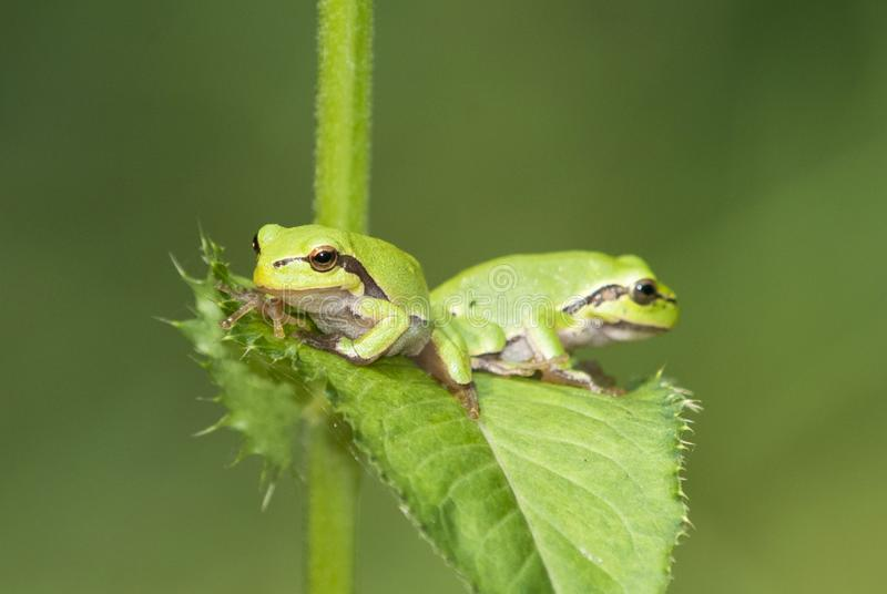 Europejski drzewnej żaby Hyla arborea Rana arborea poprzedni jest małym drzewnym żabą znajdującym w Europa, Azja i części Afryka, fotografia stock