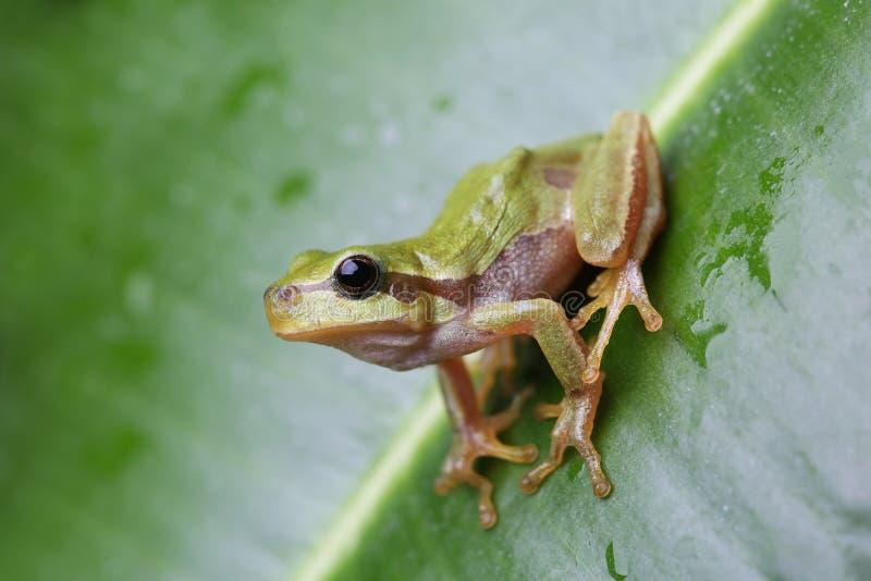 Europejski drzewnej żaby obsiadanie na zielonym liściu zdjęcie stock