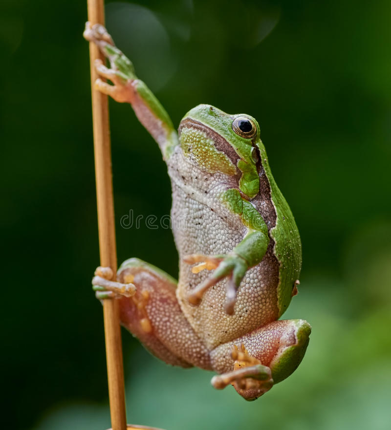 Europejski drzewnej żaby obwieszenie na słomie zdjęcia royalty free