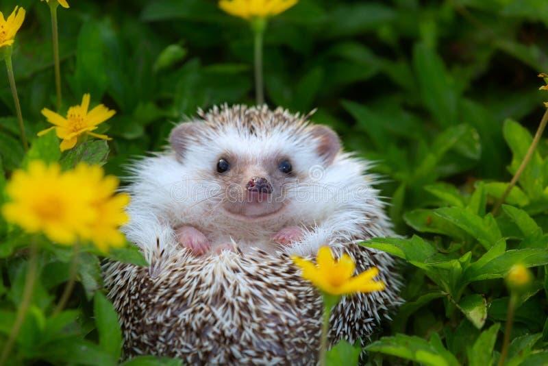 Europejski jeż bawić się przy kwiatu ogródem, bardzo ładna twarz obrazy stock