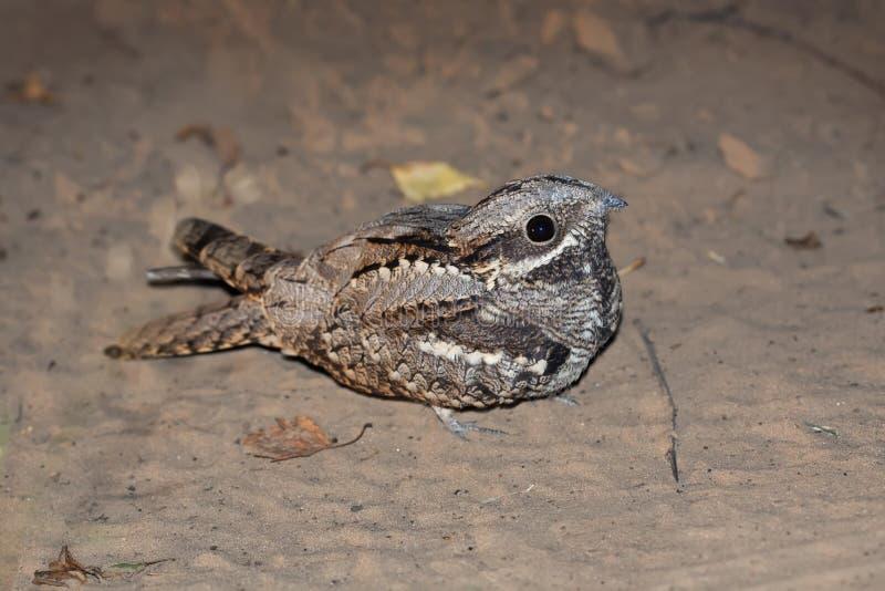 Europejski kozodój (Caprimulgus europaeus) zdjęcie stock
