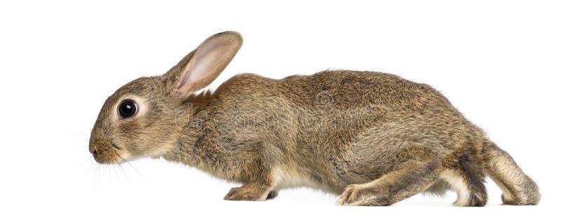 Europejski królik lub błonie królik, starego 2 miesiąc fotografia stock