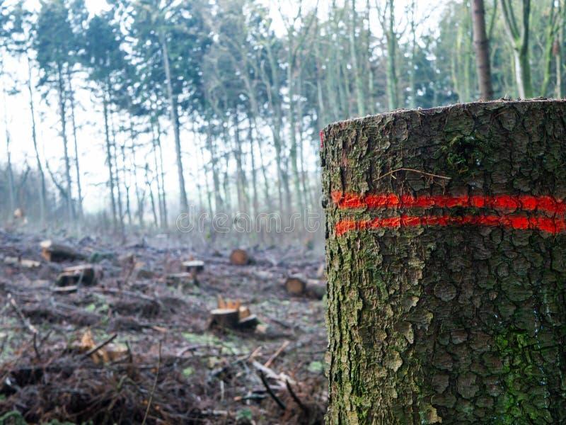 Europejski las z mnogimi cięcie puszka drzewami, Jeden bagażnik w przedpolu zdjęcie stock