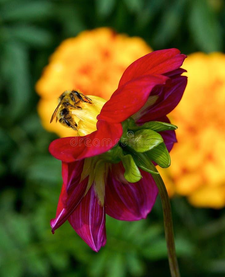 Europejski miodowy pszczół Apis mellifera zgromadzenia pollen, Miodowa pszczoła zbiera pollen od żółtego okwitnięcia, honeybee, m obraz royalty free