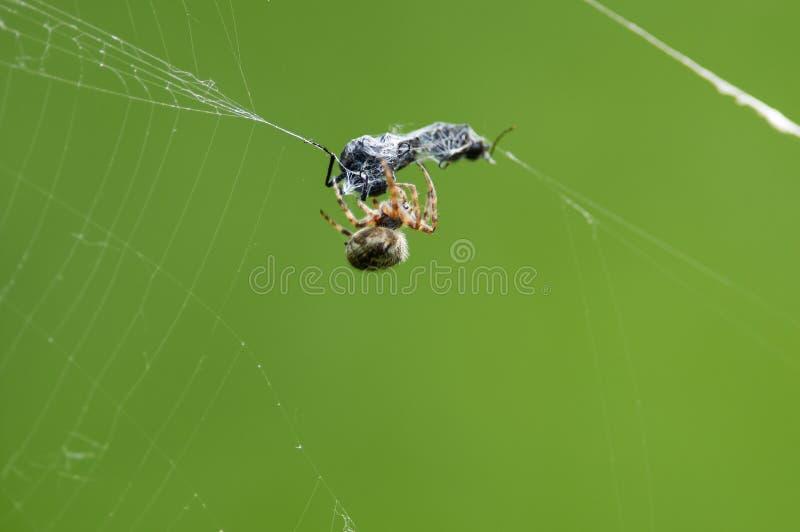 Europejski ogrodowy pająk pląta swój ofiara insekta z spiderweb kokonem obraz royalty free
