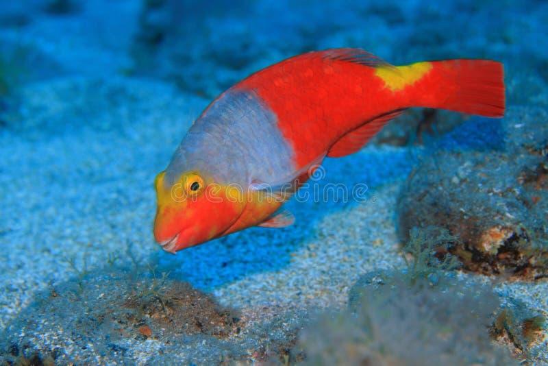 Europejski parrotfish zdjęcie royalty free