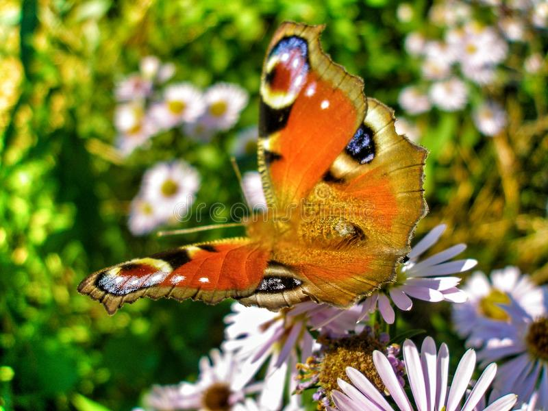 Europejski Pawi motyl na Michaelmas stokrotki kwiatach zdjęcie royalty free