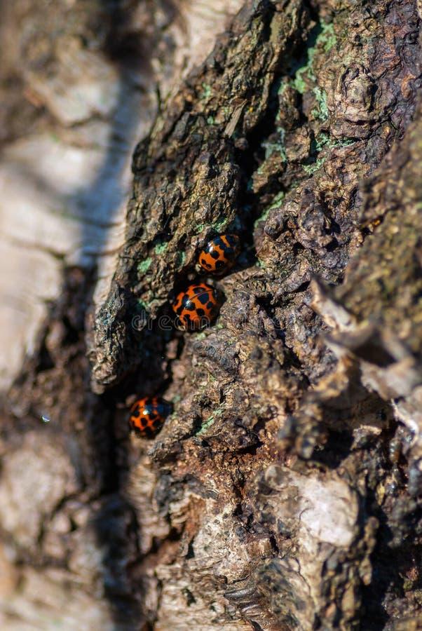 Europejski punktu ladybird Coccinella septempunctata fotografia stock