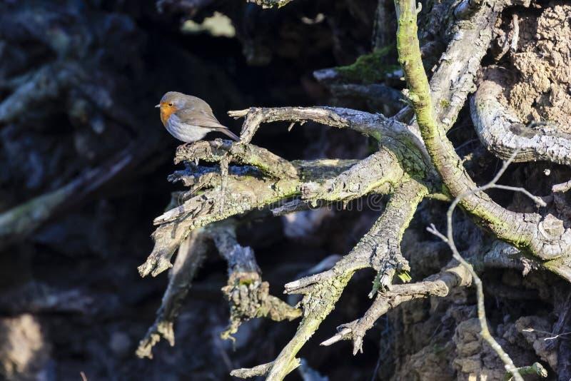 Europejski rudzik, Erithacus rubecula/ zdjęcie stock