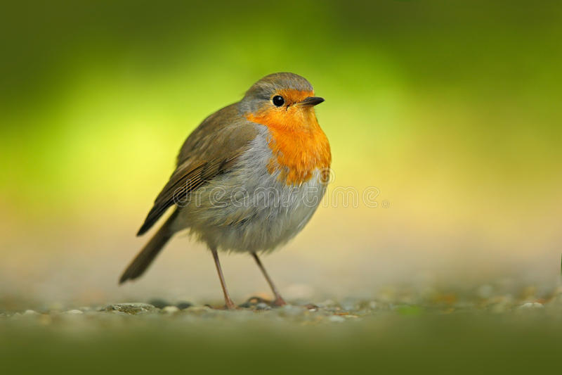 Europejski rudzik, Erithacus rubecula, pomarańczowy ptaka śpiewającego obsiadanie na żwir drodze z zielonym tłem Ładny ptak w nat obraz stock