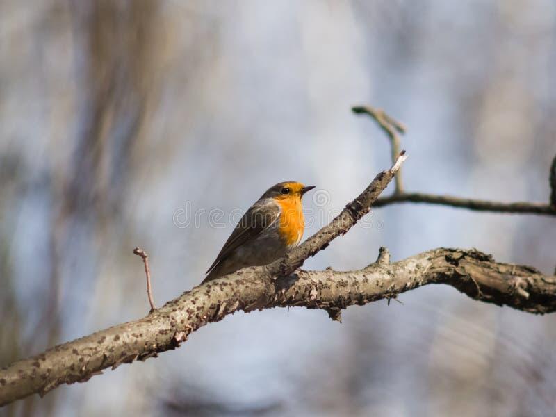 Europejski rudzik, Erithacus rubecula, ptak na gałęziastym zakończenie portrecie, selekcyjna ostrość, płytki DOF fotografia stock