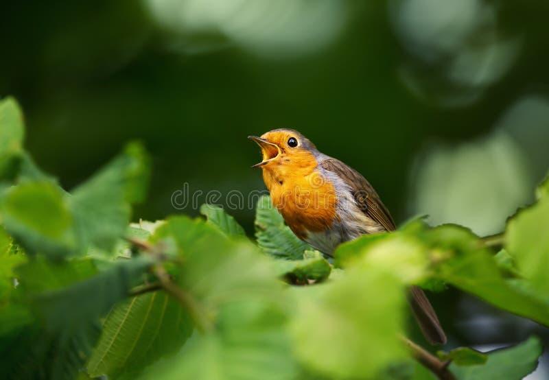 Europejski rudzika śpiew na żerdzi w orzechowym drzewie zdjęcie royalty free