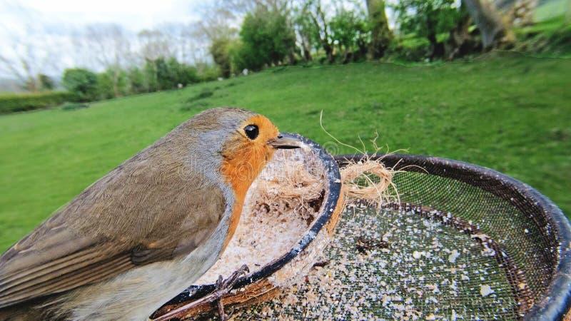 Europejski rudzika karmienie od insekta Suet na ptasim stole w UK obraz royalty free
