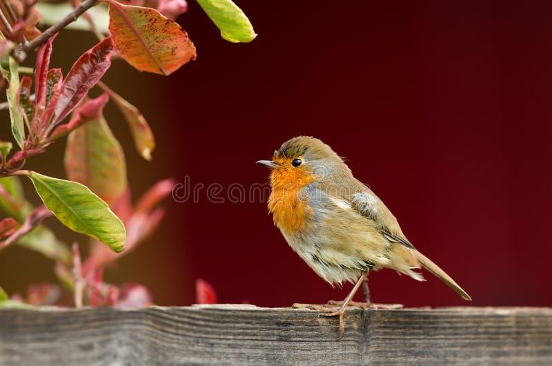 Europejski rudzika tyczenie na ogrodowym ogrodzeniu zdjęcia royalty free