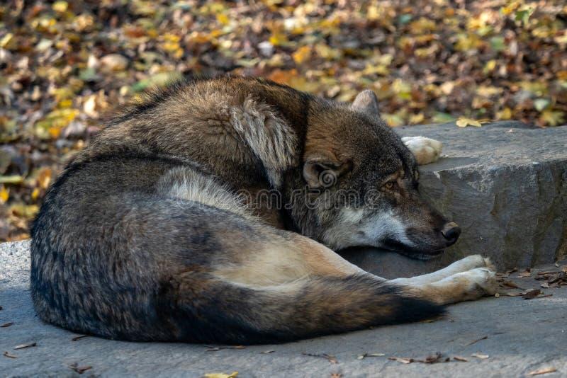Europejski szarego wilka Canis lupus lupus obraz royalty free