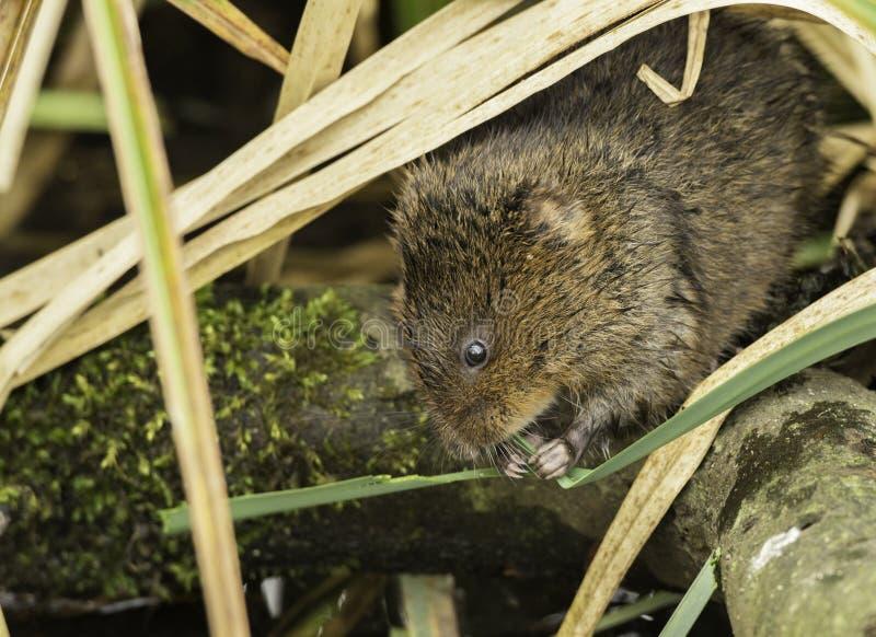 Europejski Wodnego szczura Arvicola amphibus jest nadwodnym ślepuszonką obrazy royalty free