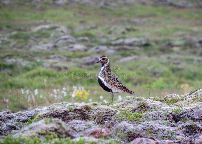 Europejski złotej siewki Pluvialis apricaria w Islandzkim landcape, Reykjanes Iceland półwysep, Europa zdjęcia royalty free