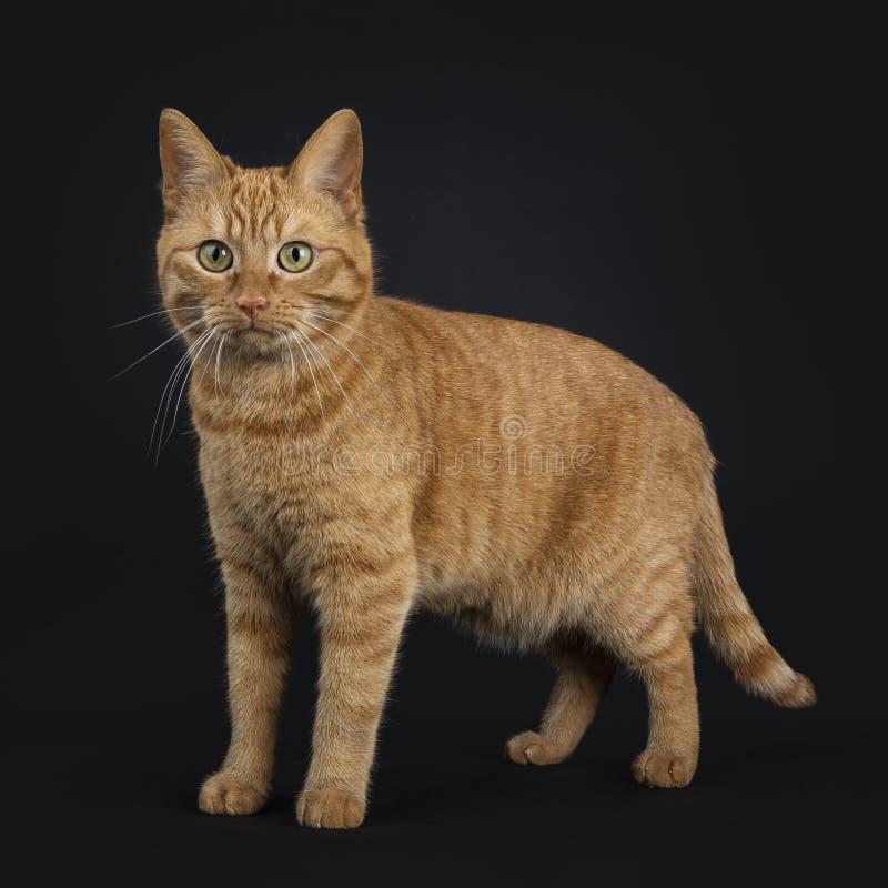 Europeo de color rojo oscuro Shorthair/gato de la calle que se coloca derecho aislado en el fondo negro que mira la cámara foto de archivo libre de regalías