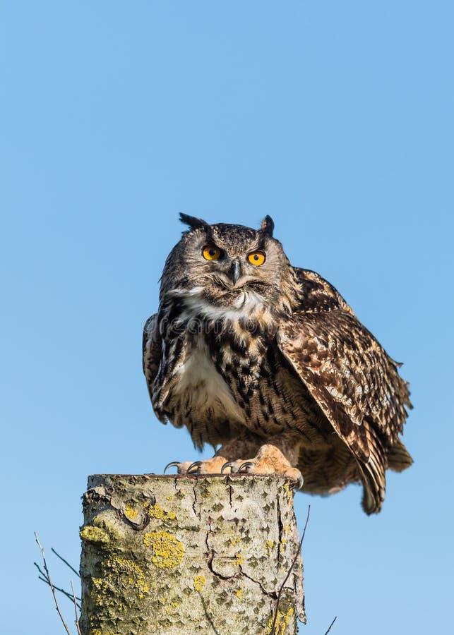 Europeo Eagle Owl On Log fotografia stock