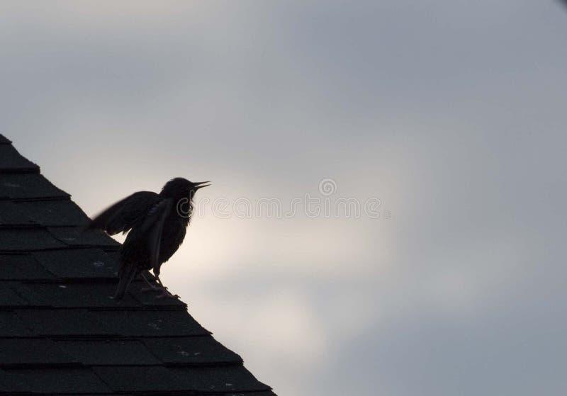Europeo Starling Stretching Her Wings en un Pre-amanecer suburbano del tejado fotografía de archivo libre de regalías