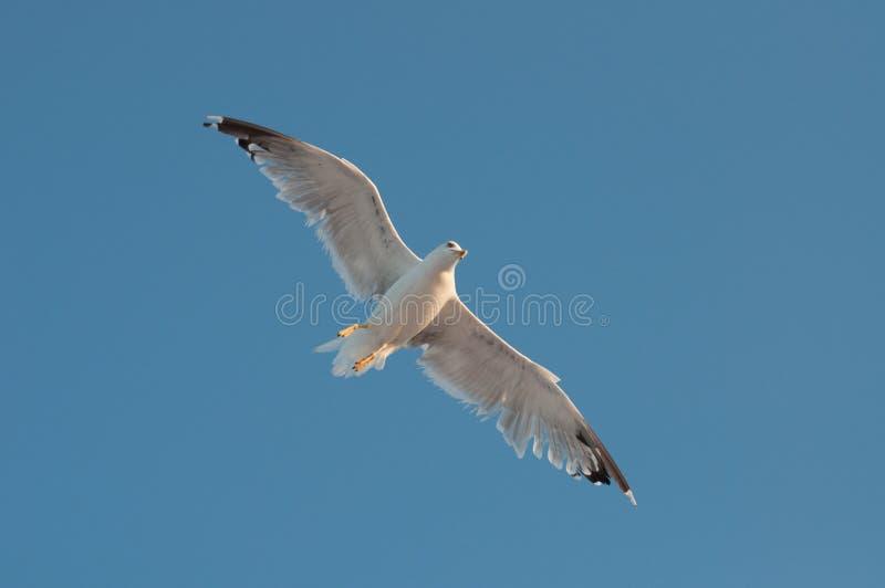 Europese argentatus die van Larus van de haringenmeeuw over het overzees vliegen royalty-vrije stock afbeelding