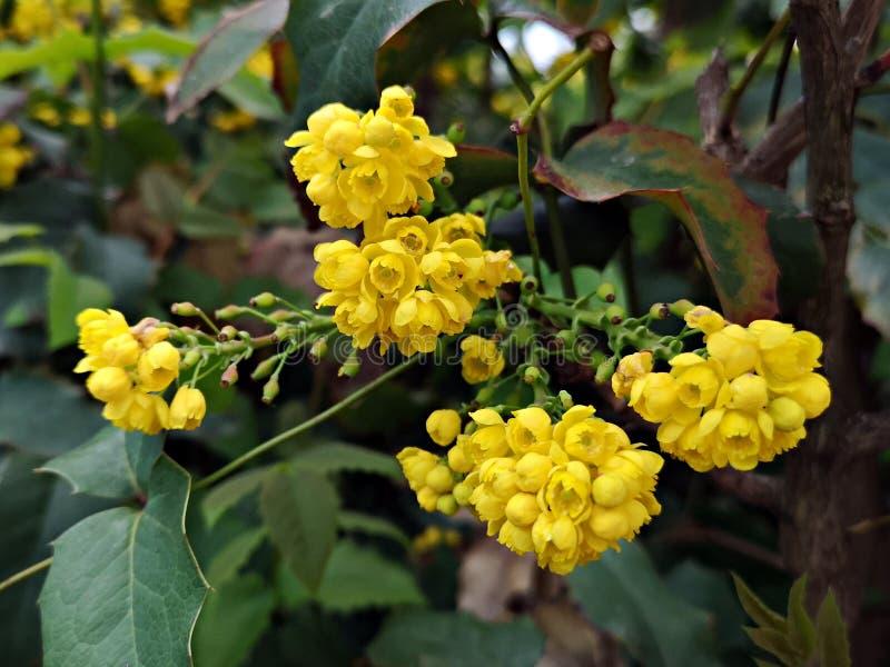 Europese berberisbloemen royalty-vrije stock foto's