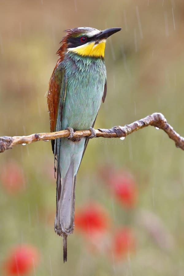 Europese bij-eter, Merops apiaster, mooie gekleurde vogel stock fotografie