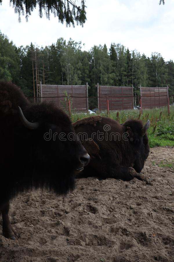 Europese bizon, heilige-Petersburg, Toksovo Bosbizonmannetje ook knon als Europees bizon of wisent Latijnse naam - Bizonbonasus royalty-vrije stock foto