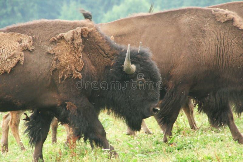 Europese bizons in het park royalty-vrije stock afbeeldingen