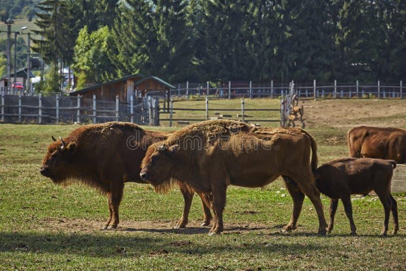 Europese bizonwijfjes en een kalfszuigeling stock afbeelding