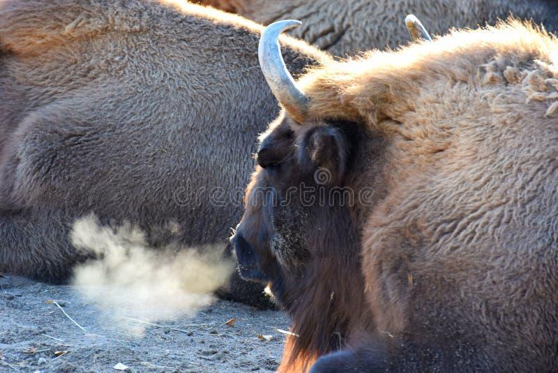 Europese bonasus van de bizonsbizon stock fotografie