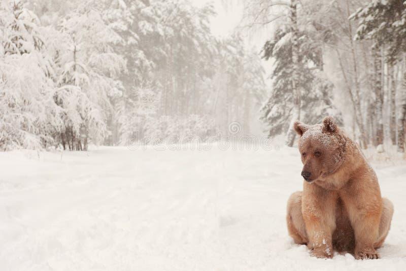Europese Bruin draagt in een de winterbos stock afbeelding