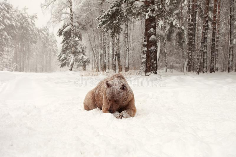 Europese Bruin draagt in een de winterbos royalty-vrije stock foto's