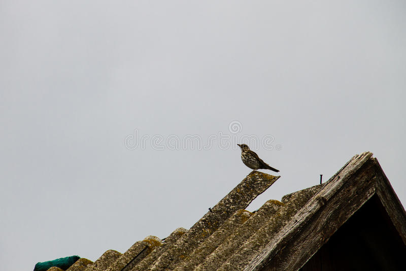 Europese canorus van Koekoekscuculus op een dak stock afbeeldingen