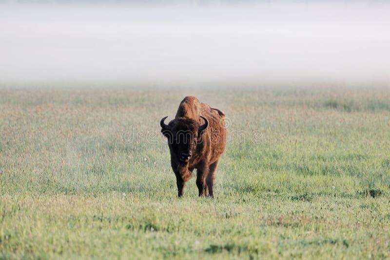 Europese de Bizonbonasus van de bizonstier op weide in de vroege ochtend en met mist royalty-vrije stock foto
