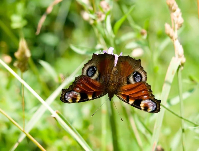 Europese de pauwvlinder van Inachisio stock foto's