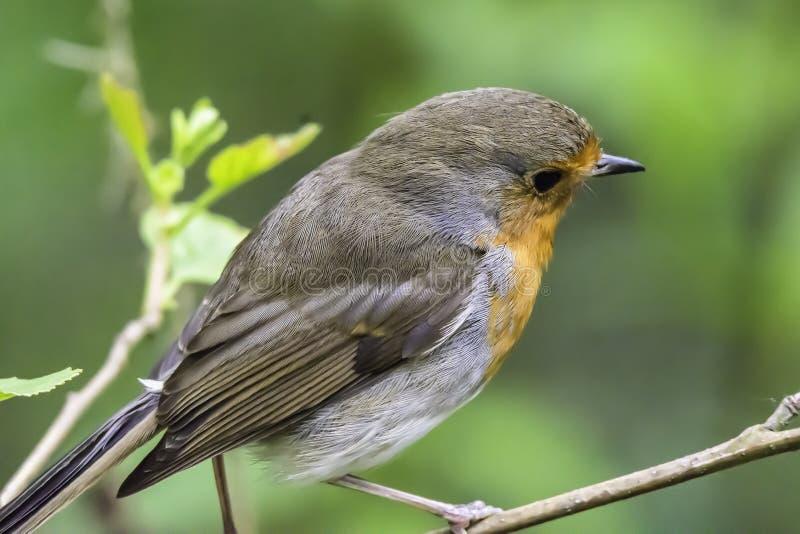 Europese dichte omhooggaand van Robin, vogelportret royalty-vrije stock foto