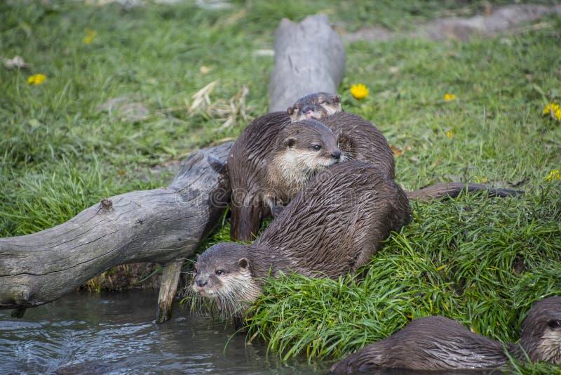 Europese die lutra van otterlutra, ook als Europees-Aziatische otter wordt bekend stock afbeelding