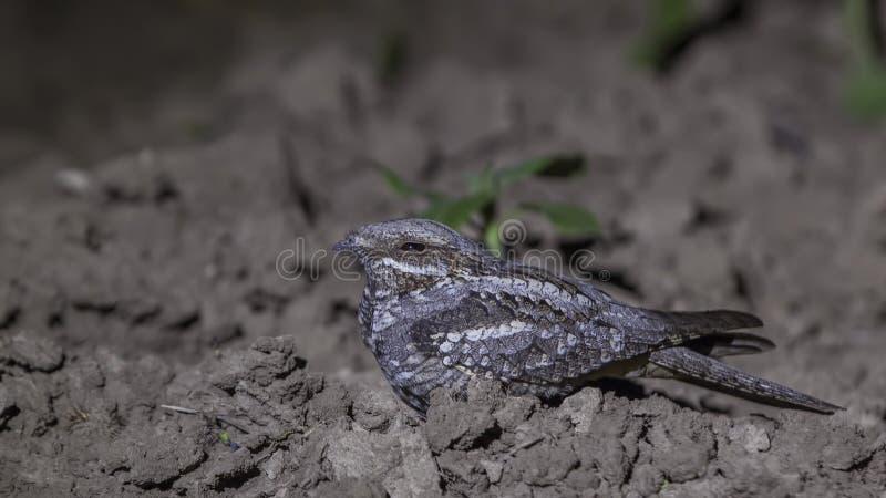 Europese die Nightjar onder Toorts wordt bevroren stock afbeelding